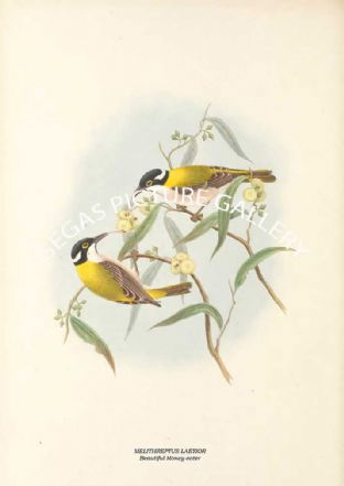 MELITHREPTUS LAETIOR - Beautiful Honey-eater